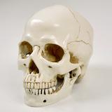 リアル 頭蓋骨 置物
